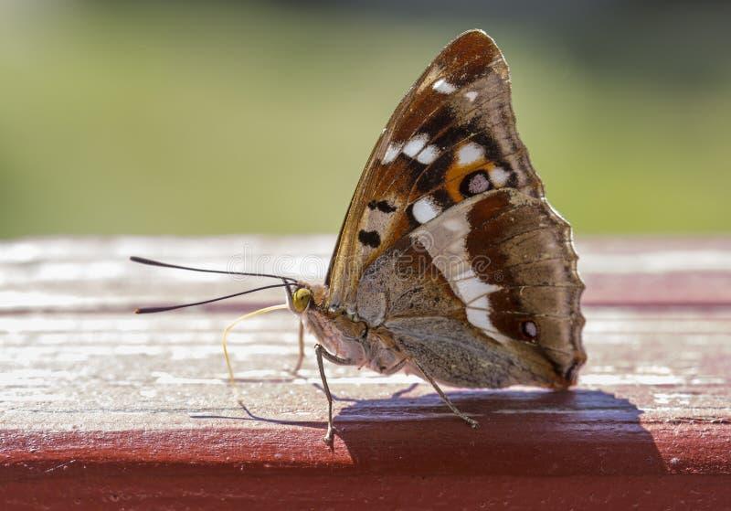 Vlinder Lesser Purple Emperor Butterfly royalty-vrije stock afbeeldingen