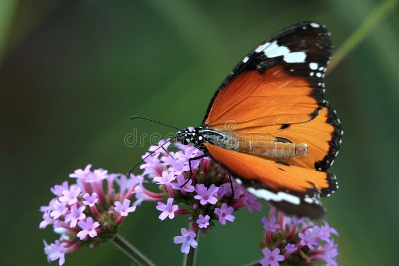 Vlinder macroh stock foto
