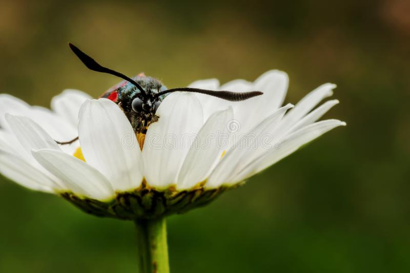 Vlinder in madeliefje stock foto