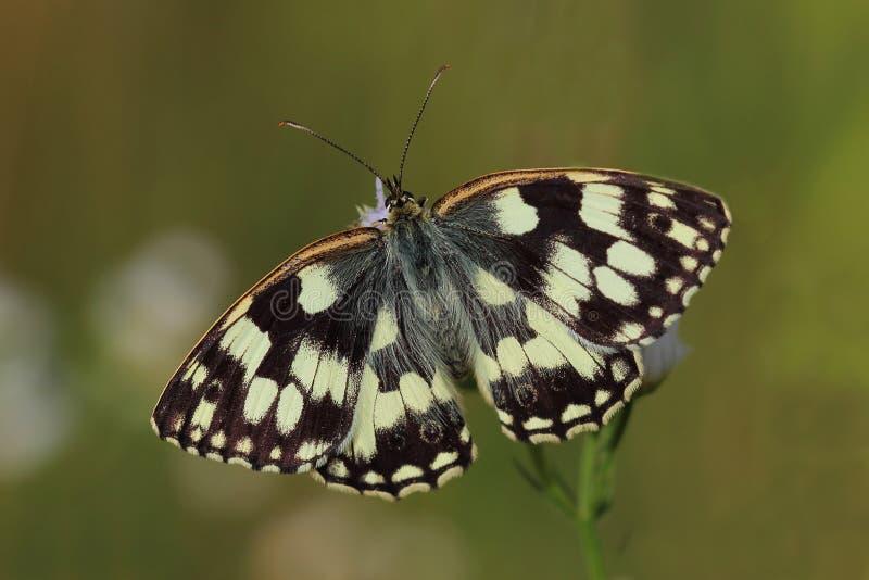 Vlinder - Marmerwit (Melanargia-galathea) royalty-vrije stock afbeelding