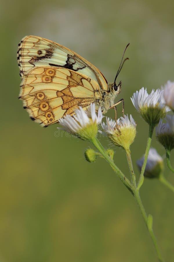 Vlinder - Marmerwit (Melanargia-galathea) stock fotografie