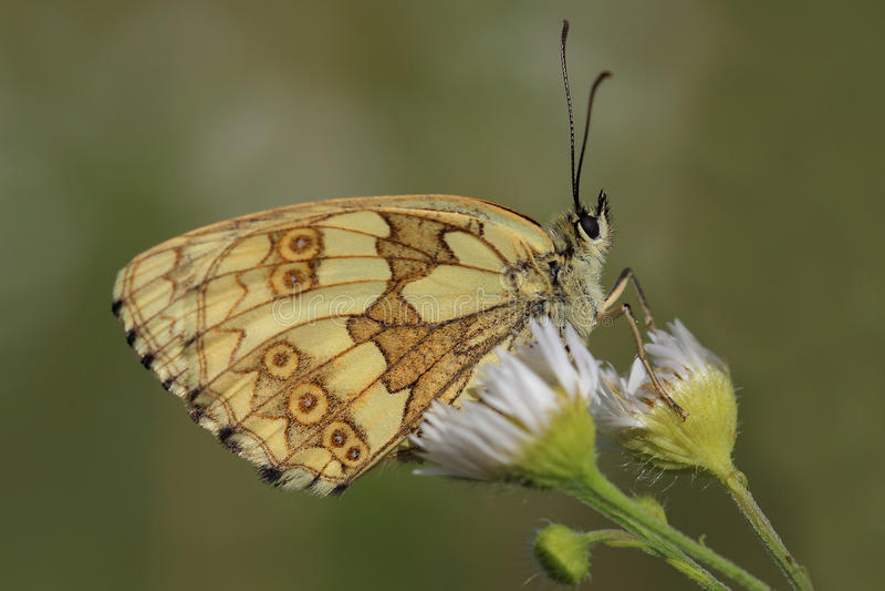 Vlinder - Marmerwit (Melanargia-galathea) royalty-vrije stock foto