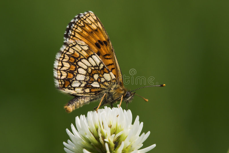 Vlinder (melitaeaathalia) royalty-vrije stock afbeeldingen