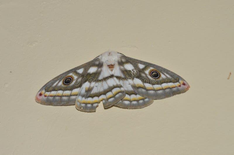 Vlinder met ogen royalty-vrije stock foto's
