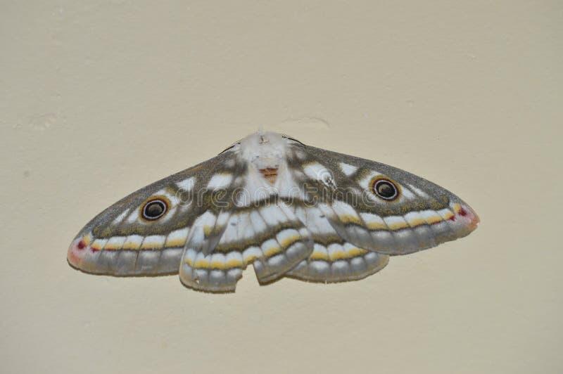 Vlinder met ogen stock foto's