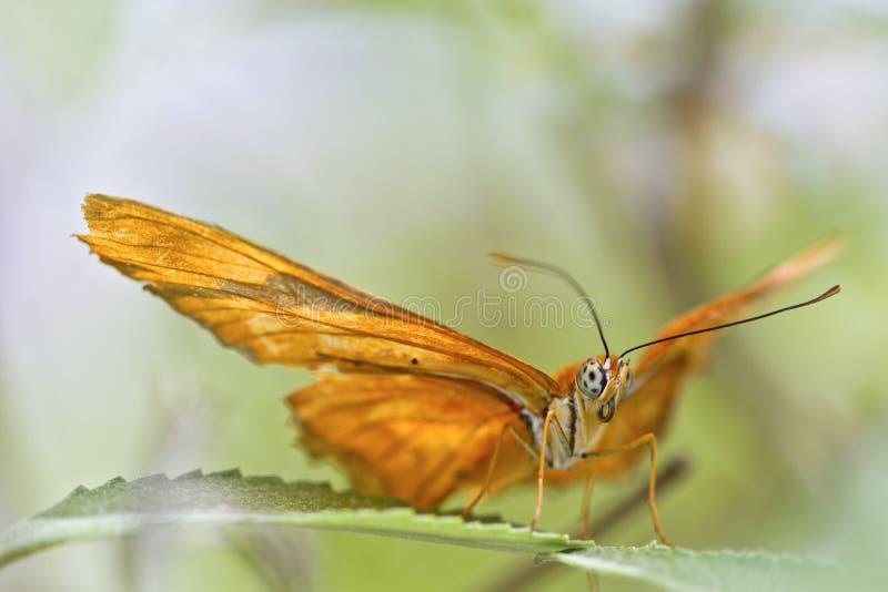 Vlinder met uitgespreide vleugels royalty-vrije stock afbeelding