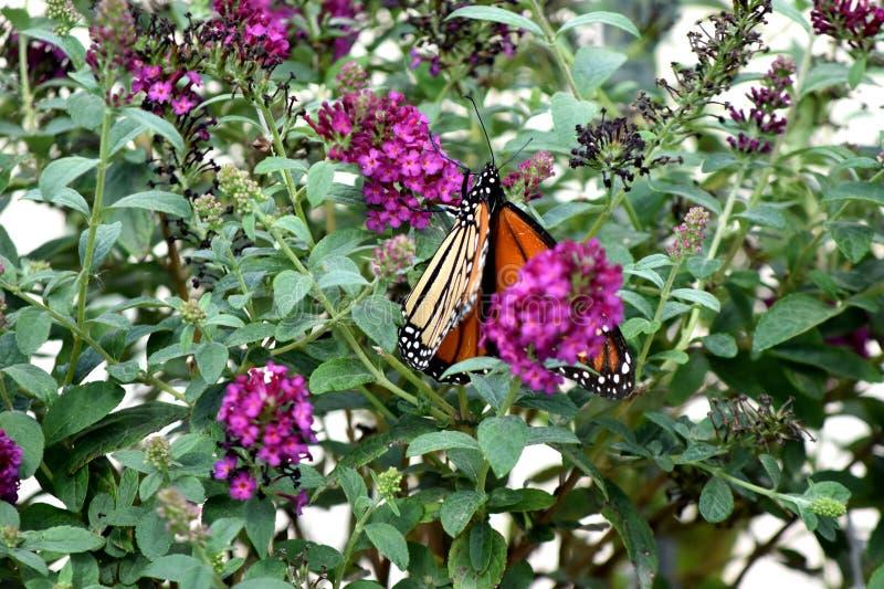 Vlinder, Monarch, het Migreren Zuiden aan de Stad van Oklahoma royalty-vrije stock afbeelding