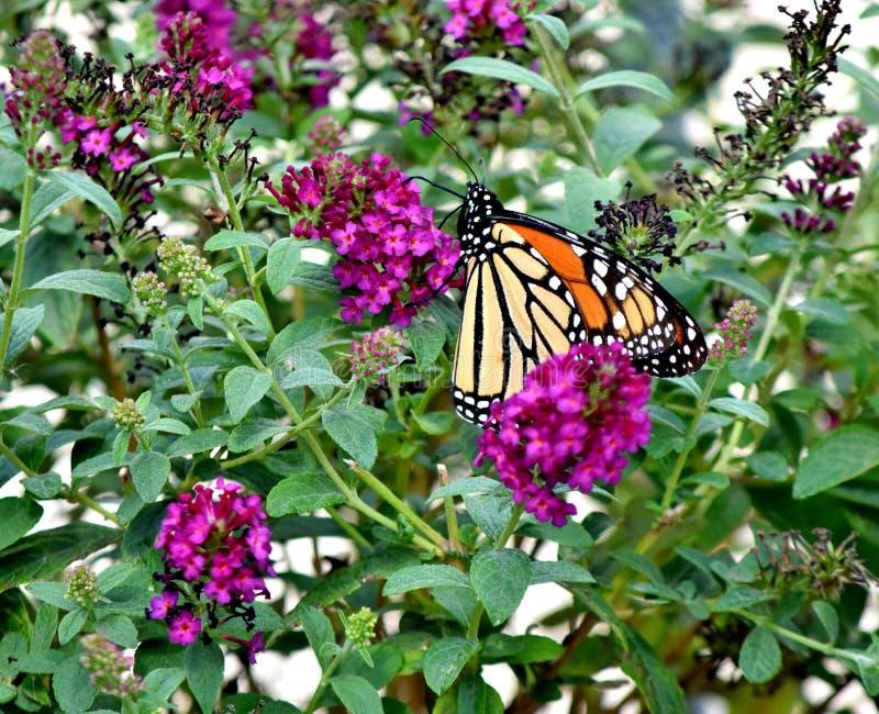 Vlinder, Monarch, het Migreren Zuiden aan de Stad van Oklahoma royalty-vrije stock fotografie