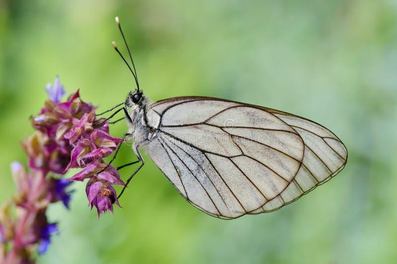 Vlinder in natuurlijke habitat (aporiacrataegi) stock fotografie