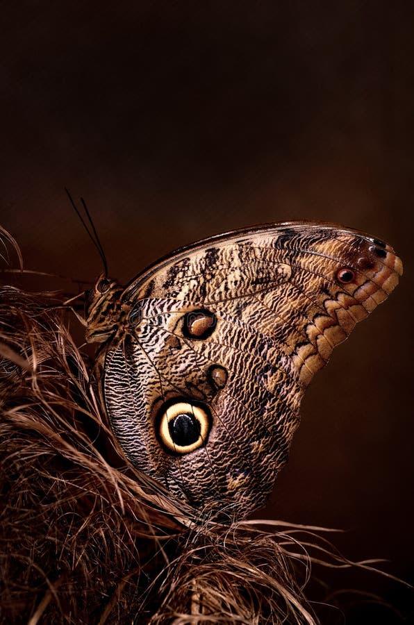 Vlinder, ogen royalty-vrije stock fotografie