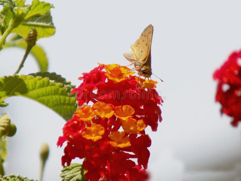 Vlinder op bloem royalty-vrije stock foto's