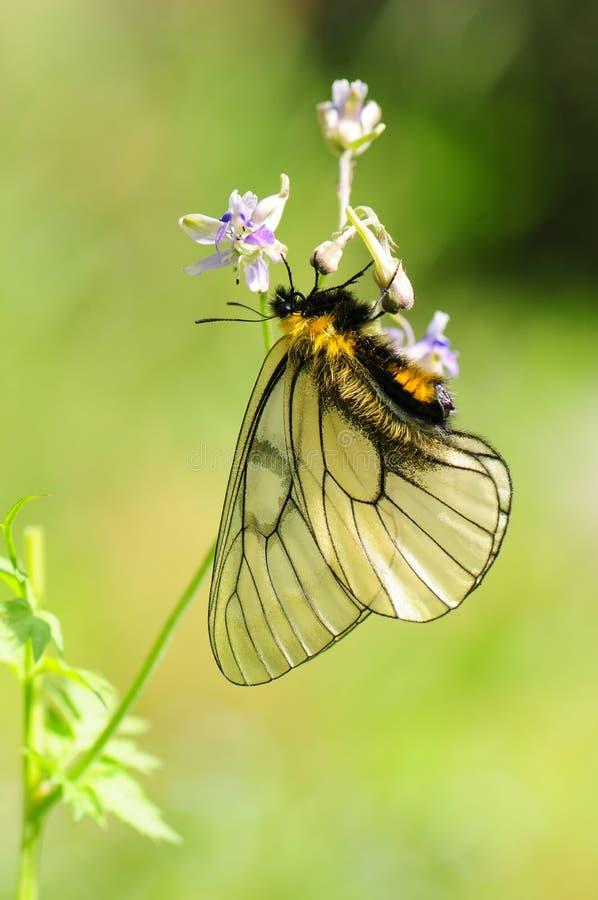 Vlinder op bloem/mannetje/glacialis Parnassius stock afbeelding