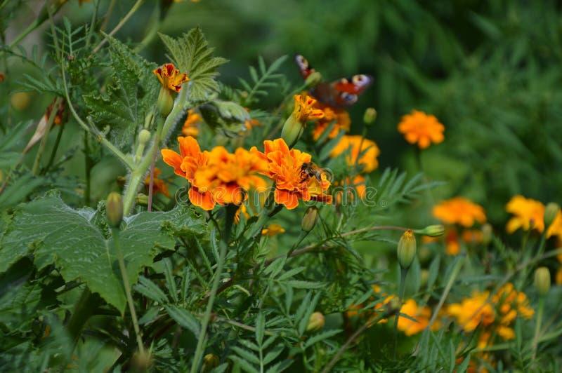 Vlinder op de bloem royalty-vrije stock afbeelding