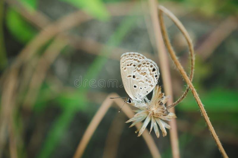 Vlinder op de droge grasbloem royalty-vrije stock fotografie