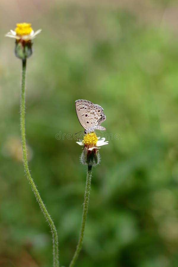 Vlinder op de grasbloem stock fotografie