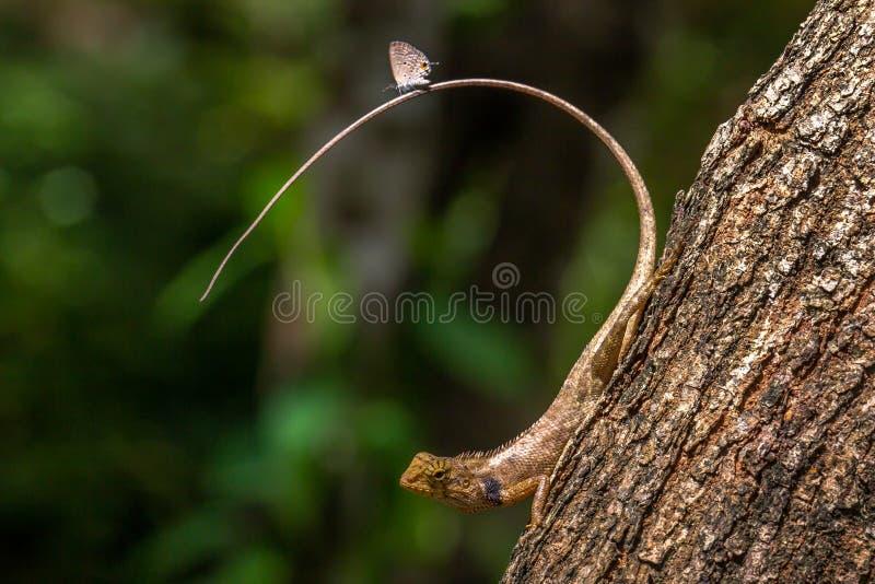 Vlinder op de staart van een hagedis stock foto's