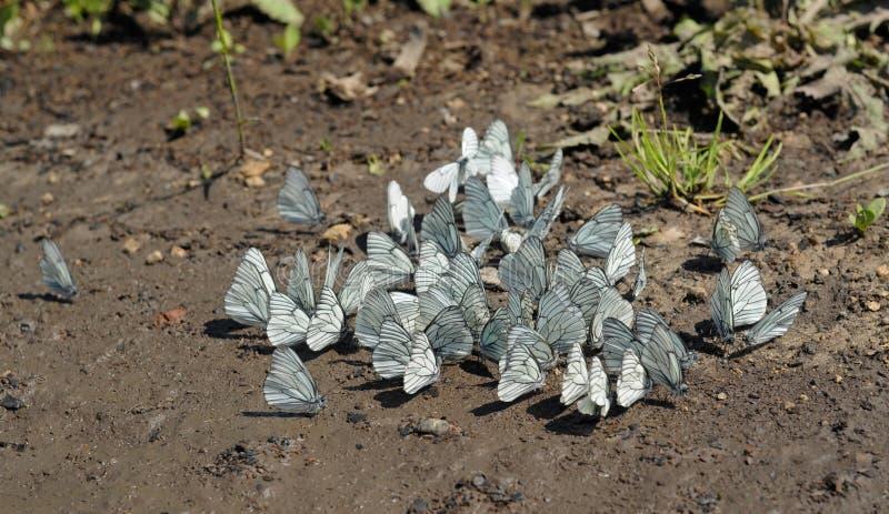 Vlinder op de weg royalty-vrije stock fotografie