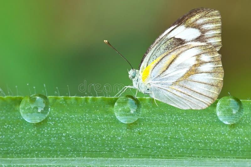 vlinder op een blad met dauwdalingen royalty-vrije stock foto's