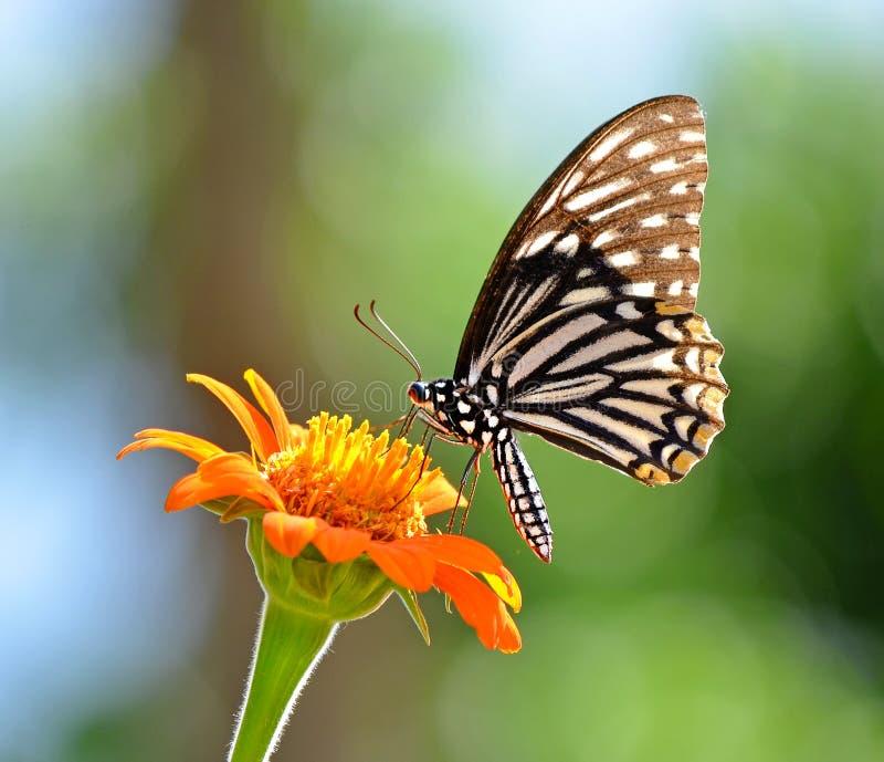 Vlinder op een bloem stock foto