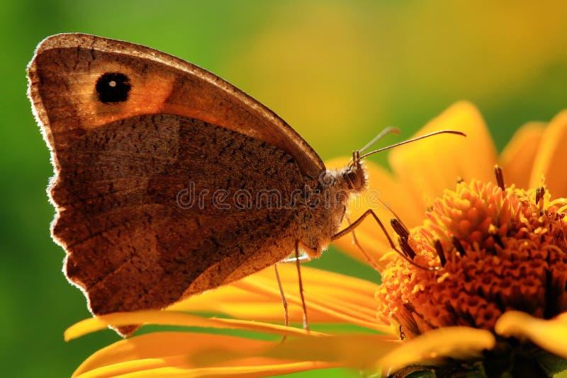 Vlinder op een bloem stock afbeelding