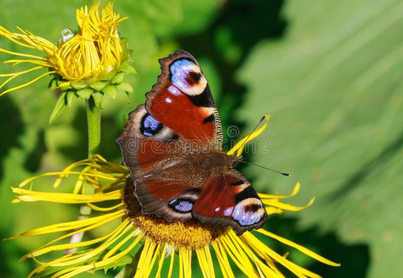 Vlinder op een bloeminula stock foto