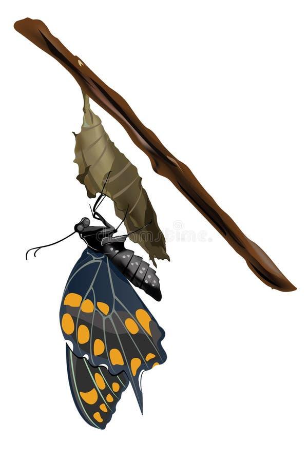 Vlinder op een cocon stock afbeelding