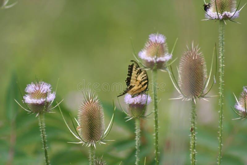 Vlinder op een Distel royalty-vrije stock fotografie