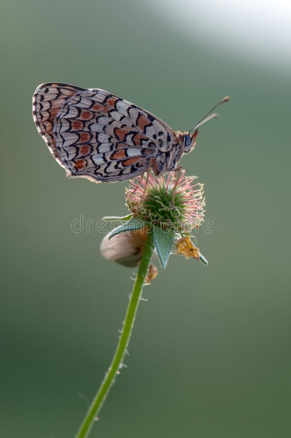vlinder op een grassprietje vroeg in de ochtend stock afbeelding