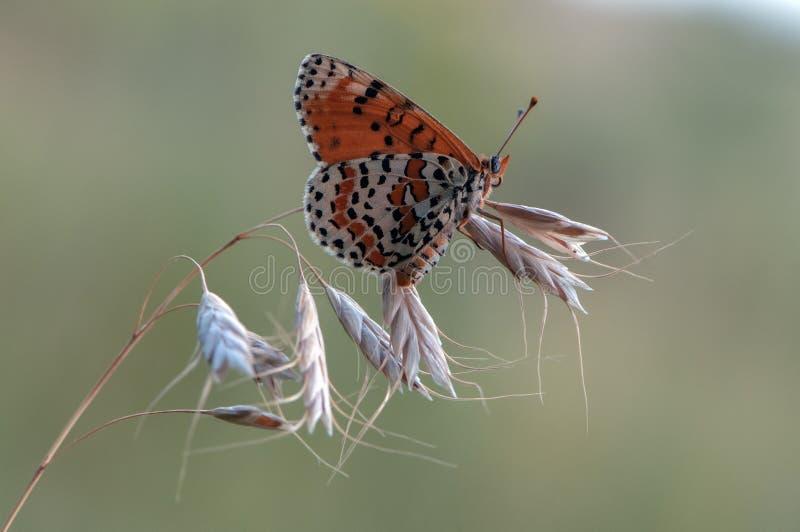 vlinder op een grassprietje vroeg in de ochtend royalty-vrije stock afbeeldingen