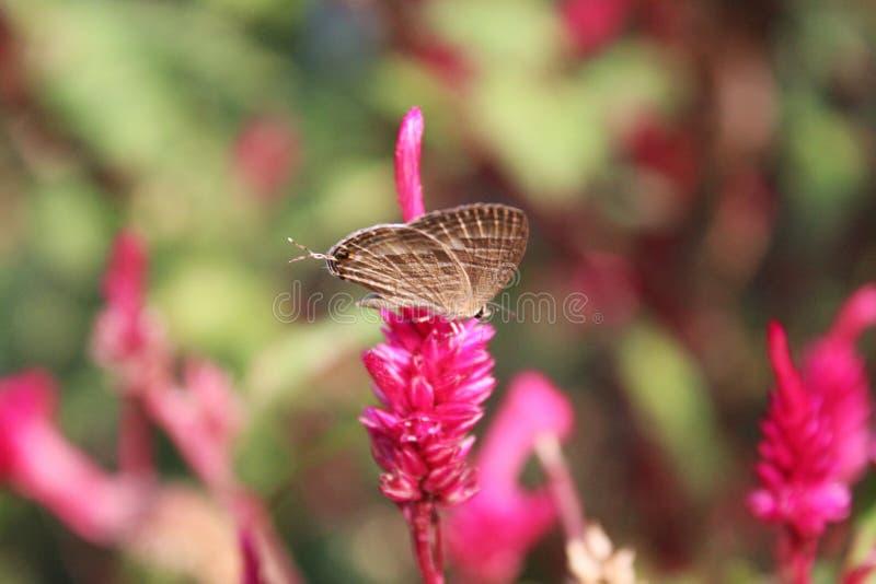 Vlinder op een roze bloem stock fotografie