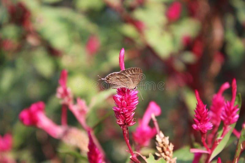 Vlinder op een roze bloem stock foto's