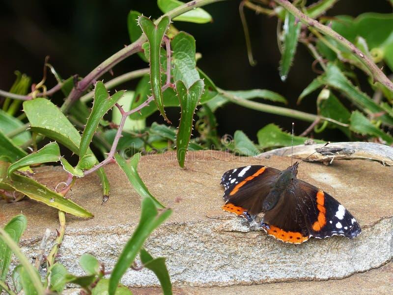 Vlinder op een steen royalty-vrije stock afbeelding