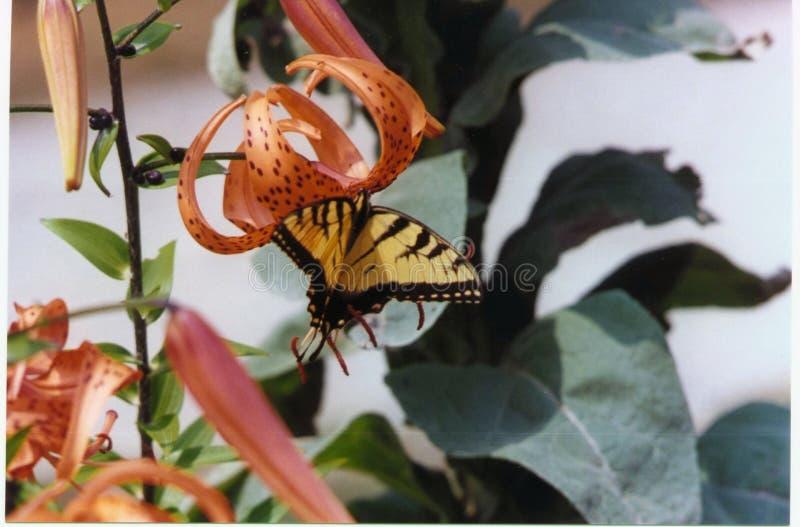 Vlinder op een tijger lilly royalty-vrije stock afbeelding