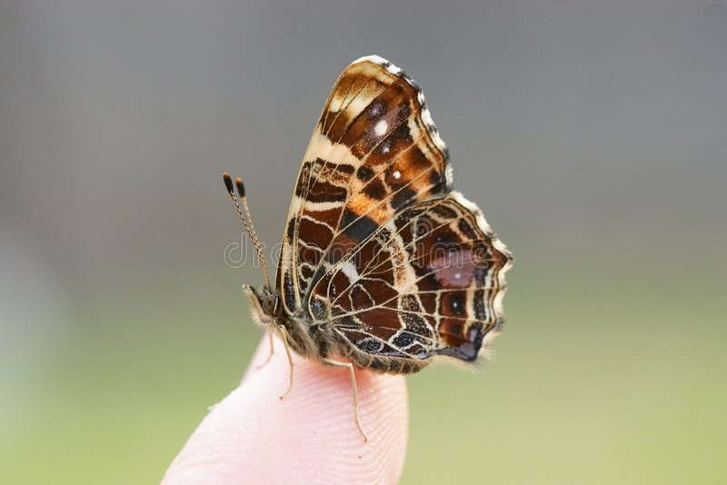 Vlinder op een vinger stock afbeelding
