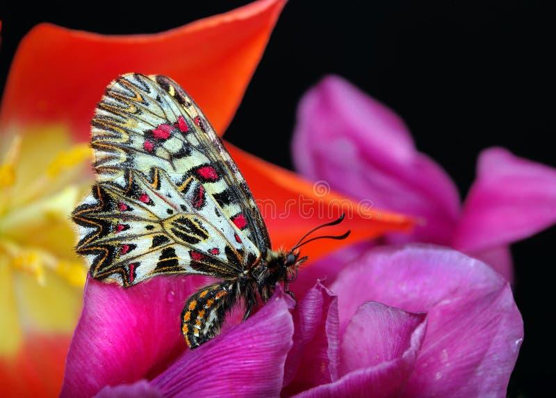 Vlinder op een zonnige weide De lentevlinders Zuidelijke slinger stock foto
