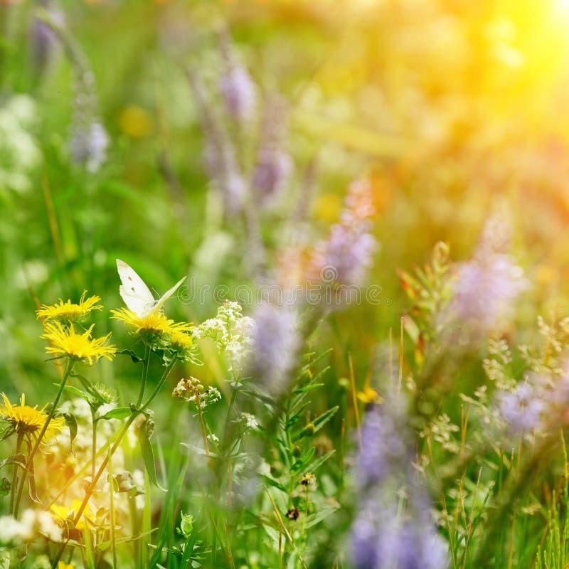 Vlinder op gebiedsbloemen en zon stock foto's