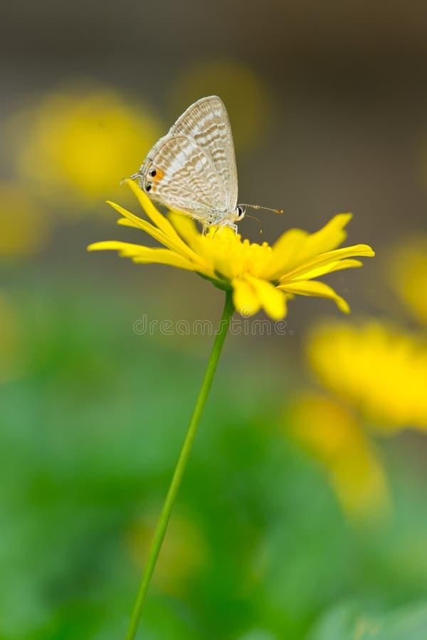 Vlinder op geel madeliefje royalty-vrije stock afbeelding