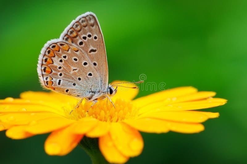Vlinder op gele bloem royalty-vrije stock fotografie