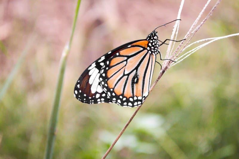 Vlinder op grasbloem royalty-vrije stock foto