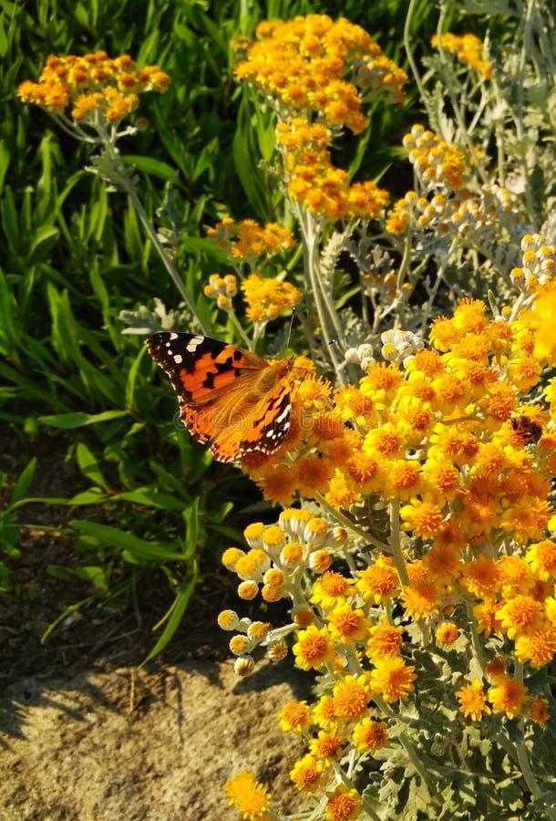 Vlinder op kleine gele bloemen royalty-vrije stock fotografie