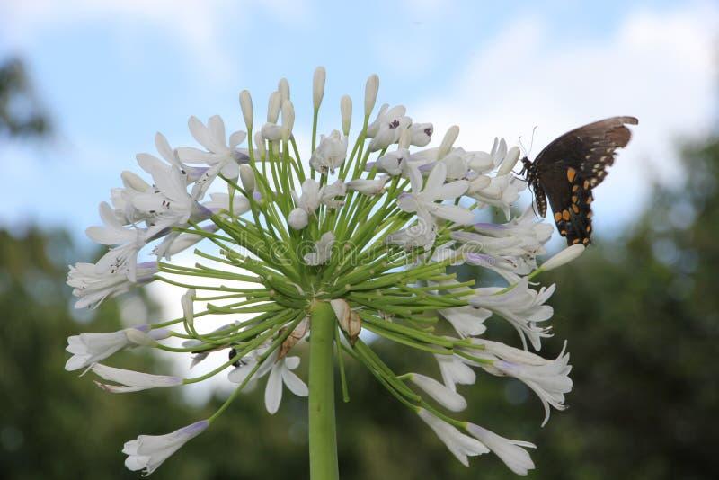 Vlinder op Koningin Mum Agapanthus stock foto's