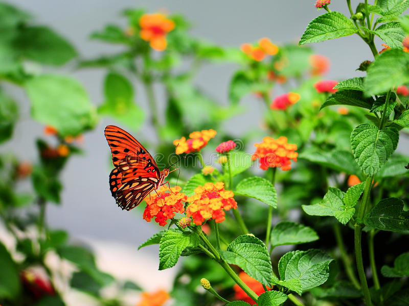 Vlinder op Lantana royalty-vrije stock foto