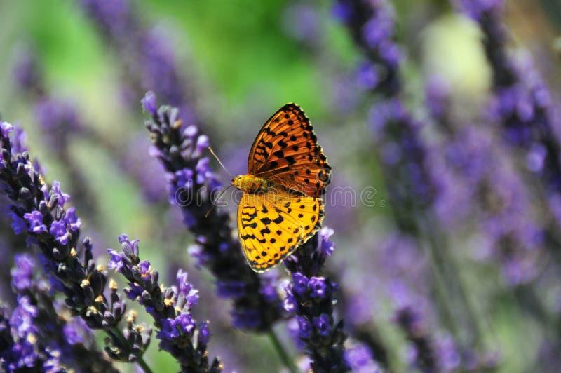 Vlinder op Lavendel stock fotografie
