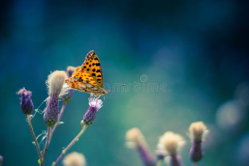 Vlinder op lilac madeliefjebloemen stock foto
