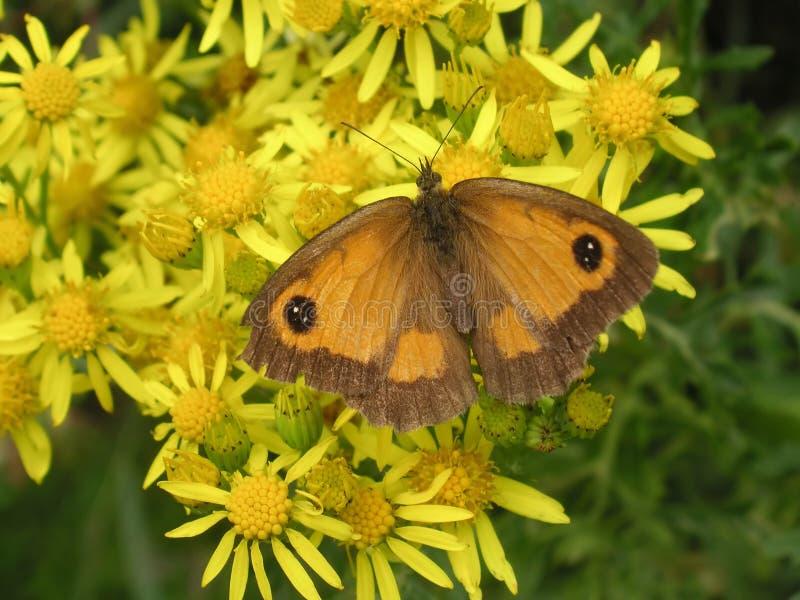 Vlinder op madeliefjes royalty-vrije stock foto's