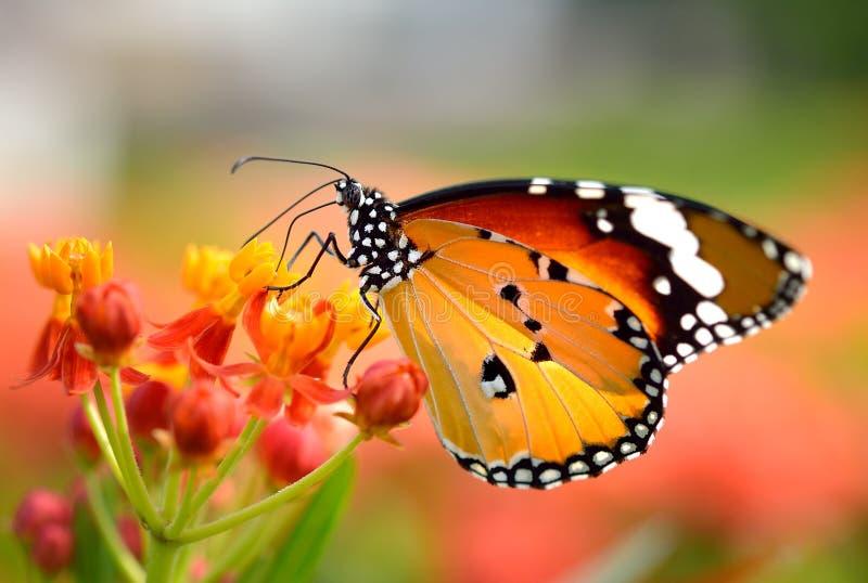 Vlinder op oranje bloem stock fotografie