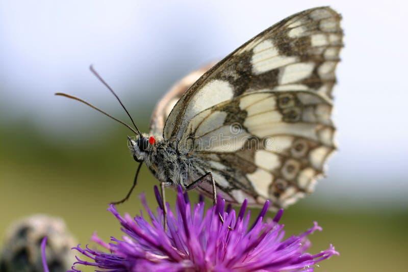 Vlinder op purpere bloem 2 royalty-vrije stock afbeeldingen
