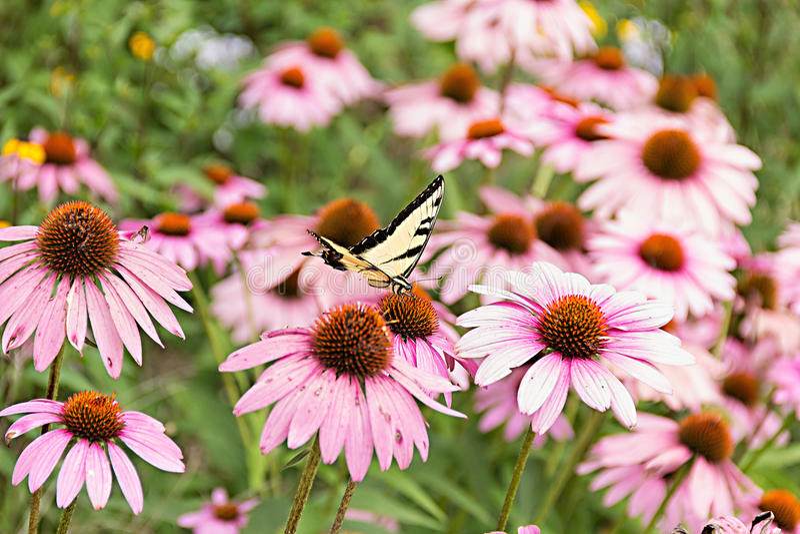 Vlinder op purpere coneflower stock afbeelding