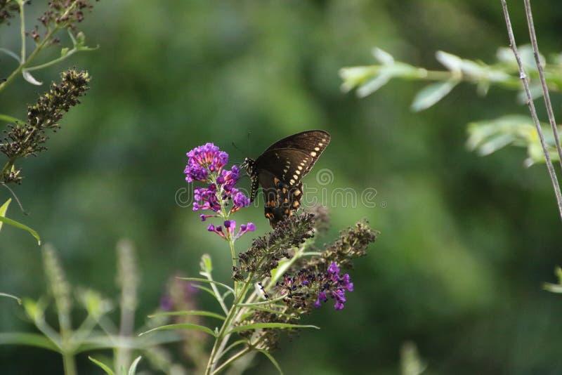 Vlinder op purpere vlinderstruik stock foto