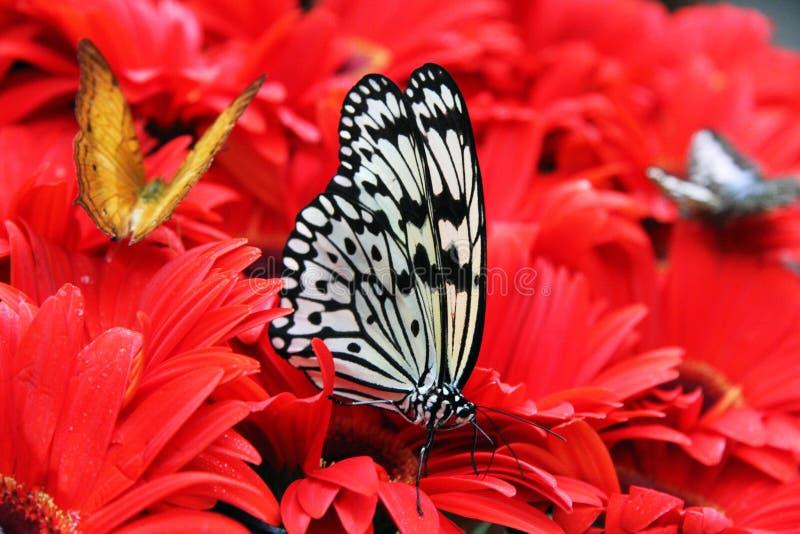 Vlinder op Rode Bloemen royalty-vrije stock fotografie